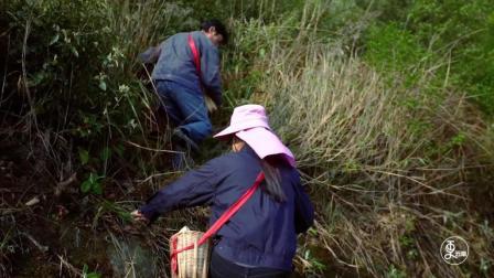 云南刺头菜被誉天下第一珍, 长在大山深处, 有经验的农民才能找到