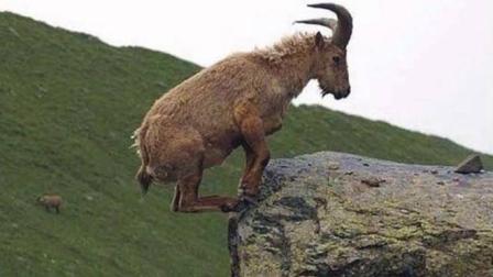 实拍6只羚羊飞跃万丈悬崖, 最后一只才是高手, 镜头拍下全过程!