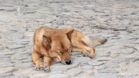 农村土狗临死前为什么要离开家? 看完差点哭出来