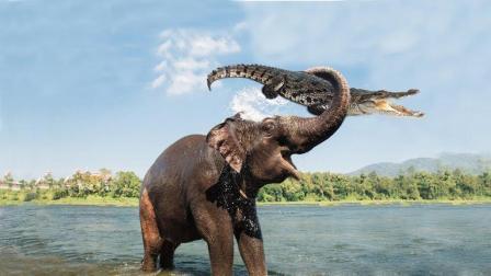 作死鳄鱼咬住大象鼻子, 大象把它卷入空中, 紧接着就是一顿暴揍!