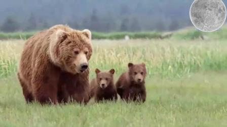 为保幼崽 母熊与1吨重的公熊展开殊搏斗