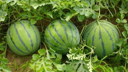 西瓜最正确的吃法! 保护肠胃健康, 常吃还能抵制血压飙升