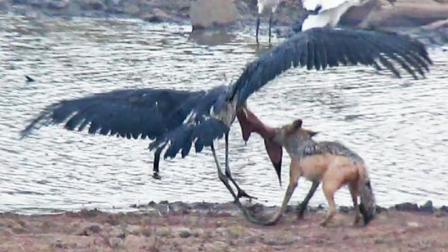秃鹤被胡狼死死咬住, 它张开翅膀打算飞走, 没想到下场会是这样?