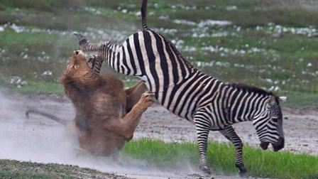 这群斑马都是黑带九段高手, 狮子被一脚踢在脸上, 这下跟头栽大了