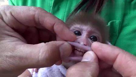 搞笑视频, 猴子宝宝遇到奇葩主人时, 被玩的太惨了! 没忍住笑了!