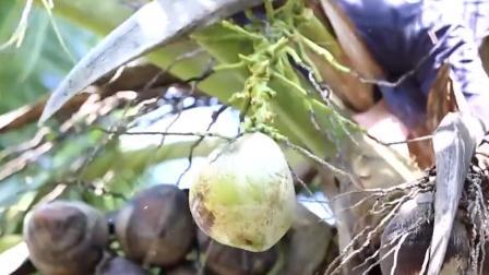 海南五指山下的天然美食,椰子饭椰子冻椰子糕