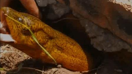 农村小伙钓上一条黄鳝王, 这个头得长多久, 才有这么大?