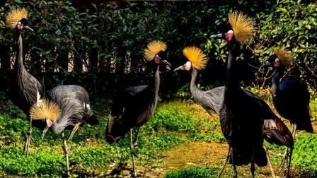 黑冠鹤母画眉鸟叫声对比你能分清吗