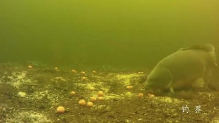 用玉米钓鲤鱼为什么最好使? 水底看这条大鲤鱼吃饵样子就明白了!