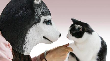 猫咪看着主人变成哈士奇后…奶牛猫: 确认过眼神 我遇上对的狗