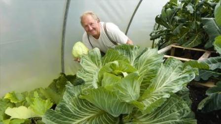 一颗菜够你吃半个月 老人种植巨型蔬菜