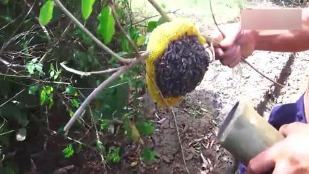 农村大叔深山里采蜂蜜, 传统方法驱赶蜜蜂, 数百只大蜜蜂轻松赶跑