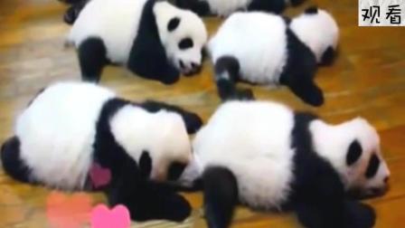 熟睡中的小熊猫梦里打了个嗝后, 旁边那五只都开始要崩溃了! 好糗