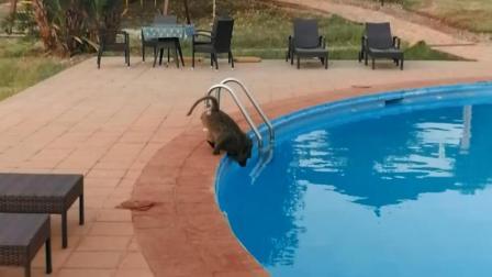 非洲卢旺达: 国家公园的四星级酒店, 狒狒在泳池旁喝水!