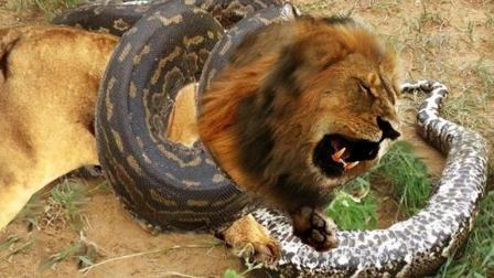 狮子能打过非洲岩蟒吗? 不是两个成年狮子赶来, 小狮子恐怕不行了