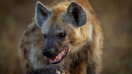 非洲草原永世仇敌! 鬣狗大战狮子, 五十条鬣狗也会怕雄狮
