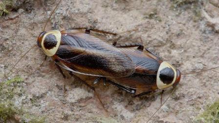 为什么蟑螂那么强, 怎么杀都杀不完?