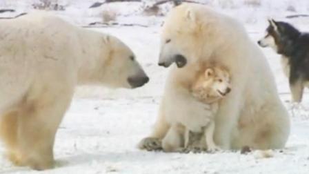 当哈士奇遇到北极熊, 猜中了开头, 却猜不到结尾!