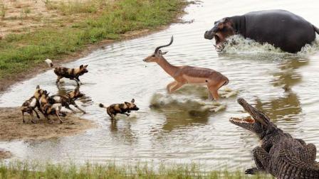 羚羊为躲避野狗跳入河里, 鳄鱼游向了羚羊, 它该如何抉择!