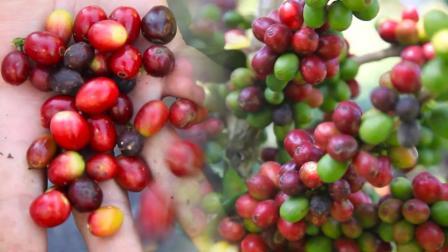 喝了那么多咖啡, 今天第一次摘咖啡豆! 这是个技术活一般人还学不来