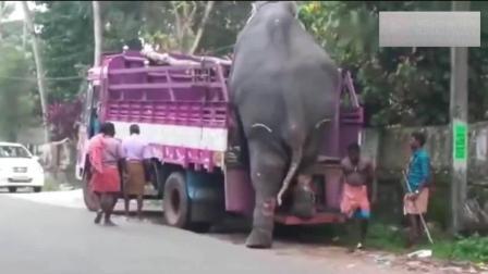 几吨重的大象自己从卡车上下来, 看到它的脚后跟, 心疼