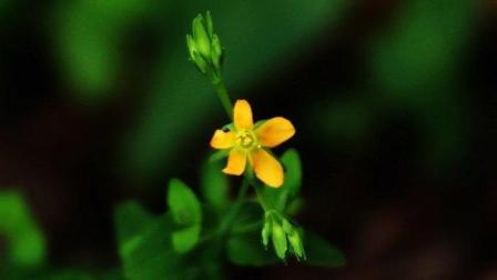 它是田野里的一棵野草, 但却有很多功效, 常用于蛇虫咬伤, 妇科病