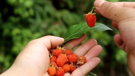 野生树莓是树上的草莓吗? 山上这么多为何没人摘, 我摘到手酸吃到饱