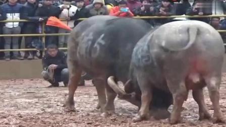 中国牛王擎天柱归江之战! 斗牛史上最经典的一幕!