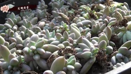 多肉植物叶插繁殖后为啥要晾根? 棚主给你答案