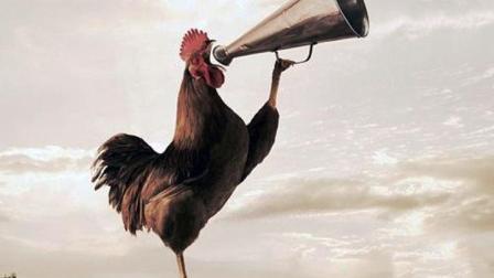 为什么公鸡早上会有打鸣的习惯? 该不会是古人训练的闹钟吧?