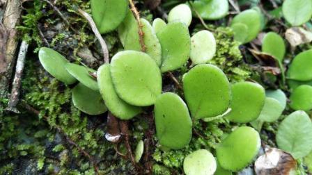 它全草入药, 常用于咽喉痛, 淋巴结炎, 胆囊炎, 咳嗽, 疔毒痈肿等