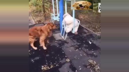 金毛可以帮助另外两只狗狗荡秋千, 真会玩!