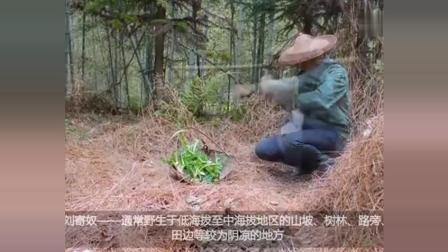 农村这种草药, 市场价一斤15块钱, 以皇帝名字命名, 你听过吗?
