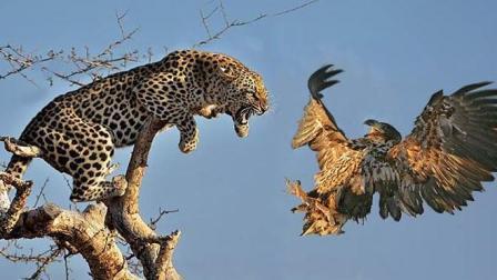 花豹成功捕杀了老鹰, 却犯了一个致命错误, 没想到结局会是这样?