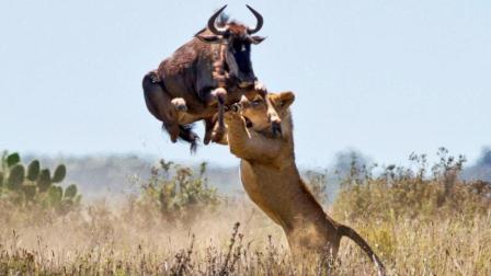 迁徙的角马被狮子攻击, 其他角马理都不理, 角马: 兄弟们, 快上啊