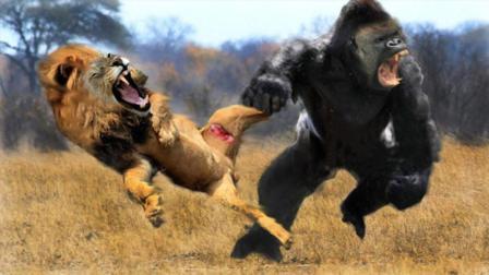 棕熊+雪豹+猞猁PK雄狮+猛虎+藏獒, 哪一组会获胜? 网友: 棕熊一掌拍死雄狮