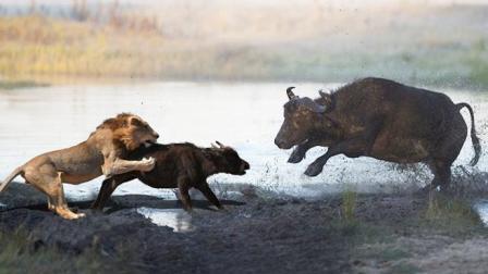 水牛为保护小牛击败狮子, 小牛竟然不知所措, 没想到结局会变这样?
