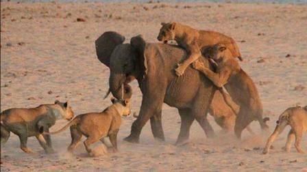 17只狮子攻击一头900公斤大象, 大象生气, 3秒干翻一只!