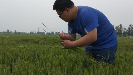 农村故事: 泥土的清香, 雨后去小麦田里拔野麦子