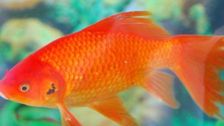 中国吃货什么鱼都能吃, 可为什么就是不吃金鱼呢?