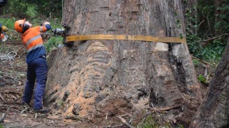 80多米高的大树, 伐木工人高空分段, 轻松伐木, 这技术让人佩服!