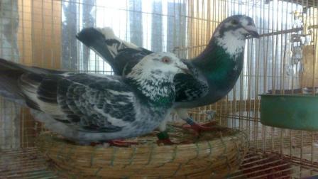 市面上的五颜六色花鸽是怎么培育出来的? 说出来你都不敢相信