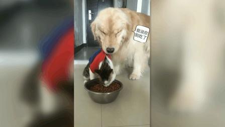 猫咪奋力地吃狗粮, 大金毛在后面用尽全力阻止它, 真是太逗了!