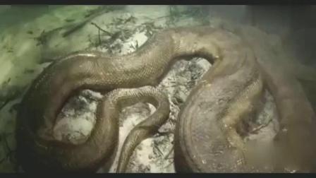 实拍世界上最大的蛇, 八米长巨型森蚺