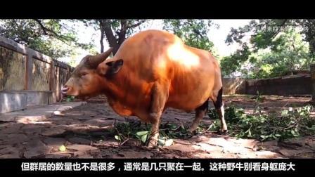 世界最大的牛魔王, 老虎和熊都害怕, 重达2500斤, 这牛不是吹的