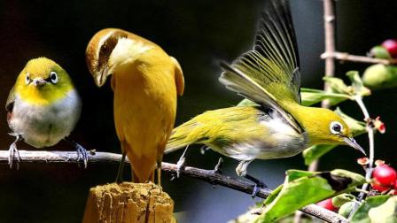 伯劳鸟画眉鸟叫声公母区别及愤怒的小绿鸟搞笑视频虾扯淡TV 陶志