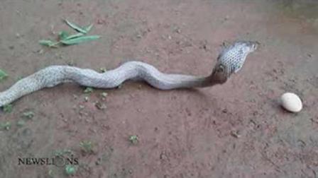 眼镜蛇连吃7个鸡蛋 撑到不行了 一个个吐出来 哈哈