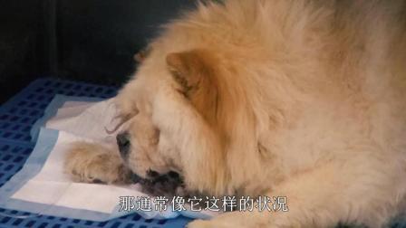 """看望病重的11岁松狮犬""""笨笨"""", 宠物医生的话让我们很痛心"""