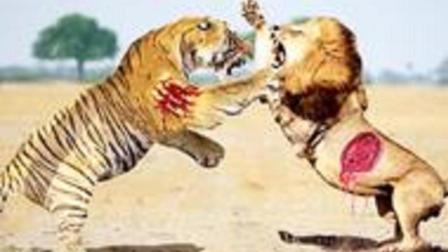 巅峰对决! 非洲雄狮大战老虎, 生死关头花豹使出这招, 狮子气懵了