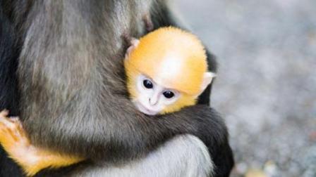母猴被野狗当肉吃了,留下一枚小猴子孤立无援,好在...